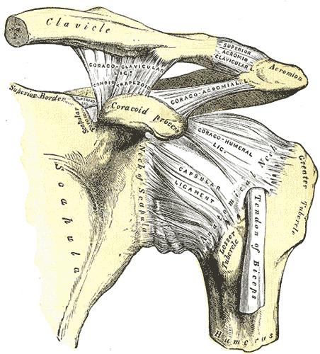 Acromioclavicular (AC) Joint